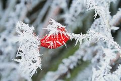 Winter frozen rose hips with ice crystals Stock Images