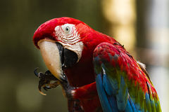 A blue, green, red parrot. At Foz do Iguasu, Brasil Royalty Free Stock Photos