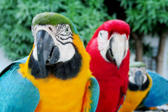 Blue, green, red and yellow feathers big ara parrots Stock Images
