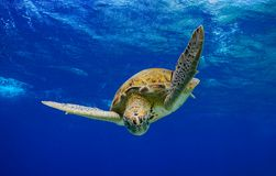 Into the blue, Green Sea Turtle stock photo