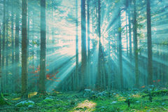 Blue green sun rays in forest. Magical sun rays in forest landscape. Lovely blue green color filter used Royalty Free Stock Image
