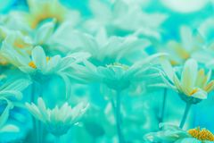 Blue green vintage chamomile flower background. Chamomile flowers in the garden. Blue green vintage chamomile flower background. Out of color royalty free stock photo