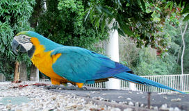 Blue, green and yellow color big parrot Stock Image