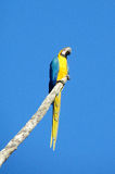 Blue, green and yellow feathers ara parrot on tree branch. Blue, green and yellow feathers big parrot. Ara parrot in tropics. Blue, green and yellow feathers big Stock Image