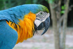 Blue, green and yellow feathers big ara parrot Royalty Free Stock Images