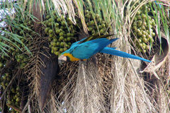 Blue, green and yellow feathers big parrot eating coconut Royalty Free Stock Image