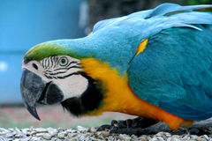 Blue, green and yellow feathers big parrot eating. Blue, green and yellow feathers big parrots. Ara parrot in tropics. Blue, green and yellow feathers big parrot Royalty Free Stock Photography