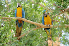 Blue, green and yellow feathers big parrots Stock Image