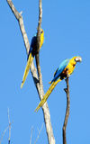 Blue, green and yellow feathers tropical parrot Stock Images