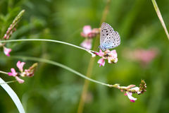 Blue and grey butterfly on pink plant Royalty Free Stock Photography