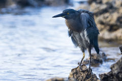 A blue and grey Heron Stock Photo