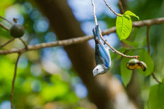 Blue Grey Tanager Stock Photo