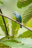 Blue-grey tanager Royalty Free Stock Photos