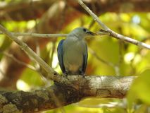 Blue-grey Tanager, gathering for a nest,  Costa Rica Stock Images