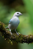 Blue-grey tanager. On mossy vine in rain forest in Costa Rica Stock Photos