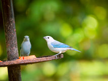 The Blue-grey Tanager (Thraupis episcopus) in Tortuguero NP, Cos. Ta Rica stock photo