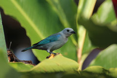 Blue Grey Tanager. The Blue Grey Tanager tropical bird found in Costa Rica Royalty Free Stock Photos
