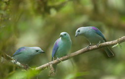 Blue-Grey Tanagers Stock Images