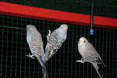 Blue and greybudgie Stock Images