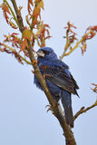Blue Grosbeak Stock Images