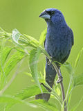 Blue Grosbeak on Branch Stock Photography