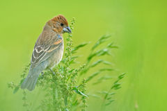 Blue Grosbeak Stock Image