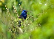 Blue Grosbeak in Habitat. Blue Grosbeak in colorful foliage stock images