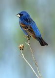 Blue Grosbeak (male). Beautiful male Blue Grosbeak (Guiraca caerulea) perched against a colorful background stock photos