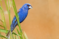 Blue Grosbeak Royalty Free Stock Image