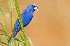 Blue Grosbeak Royalty Free Stock Image