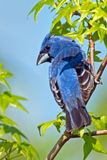 Blue Grosbeak Stock Photography