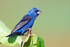 Blue Grosbeak Royalty Free Stock Photo