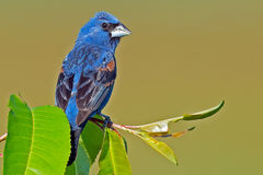 Blue Grosbeak Royalty Free Stock Photos