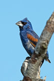 Blue Grosbeak Stock Photos