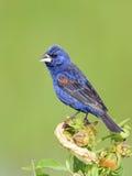 Blue Grosbeak Royalty Free Stock Photo