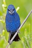 Blue Grosbeak Royalty Free Stock Photos