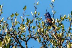 Blue Grosbeak Resting in the Top of a Tree Royalty Free Stock Images