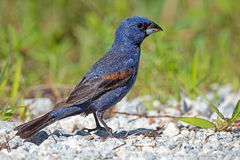Blue Grosbeak Stock Photo