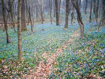 Blue ground. Carpet of blue snowdrop in spring forest Royalty Free Stock Image