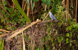 Blue Ground-dove Stock Photos