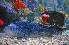 Blue Grouper Royalty Free Stock Images