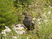 Blue Grouse Royalty Free Stock Image