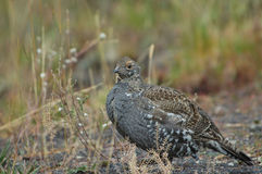 Blue Grouse Royalty Free Stock Photo