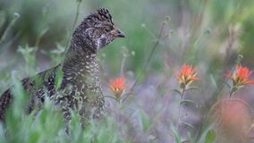 Blue Grouse Hen in a Field with Beautiful Flowers stock image