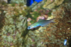 Blue gudgeon royalty free stock image