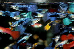 Blue guppy aquarium fish Royalty Free Stock Photography