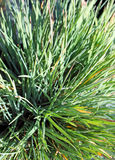 Blue hair grass Stock Images