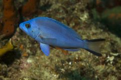 Blue Hamlet. Hypoplectrus gemma picture taken in south east Florida Stock Photos
