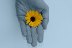 Blue hand & marigold flower. Royalty Free Stock Images