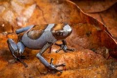 Blue Harlequin poison dart frog, Oophaga histrionica royalty free stock images
